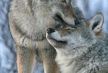 Wolves/ Deer
