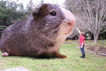 Guinea pigs / Tengerimalac fényképek