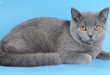 Голубой британский котёнок / Коты, кошки и котята британской породы