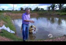 Videos - Criação de Peixes / Psicultura
