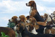 Bard the Beagle