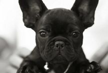 Frenchies / by Amanda Green