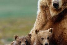 bear+