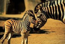 All things Zebra