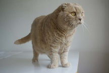 Scottish Fold kitten, munchkin cat / by La Carmina