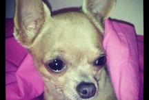 my chihuahua