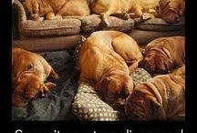 dog the bourdeaux