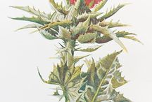 Thistle,Eryngium ,чертополох,репейник,татарник
