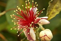 Mirtuszdió, ananászguava, brazil guava (Feijoa sellowiana).