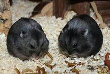 Campbell Zwerghamster / Campbell Zwerghamster sind sehr soziale und in der Gruppe verträgliche Tiere insofern sie artrein sind.