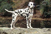 Dalmatian de vanzare / Vindem catei Dalmatian, masculi si femele la 2 luni. Pentru informatii suplimentare va rugam sa ne contactati. Va multumim!