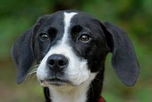 Adoptable Dogs / Adoptable dogs form the Aiken County SC Animal Shelter