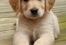 Cani / Golden retriver