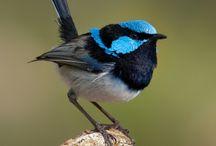 My Aussi Birds