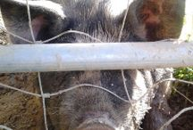 Pigs / Find out why I raise stinky pigs every summer.  Healthy, friendly, easiest animal on the farm to raise!