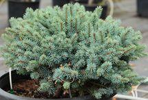 Picea pungens-Szúrós luc
