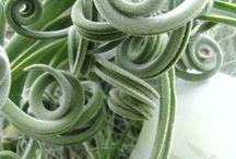 Plant(s)