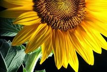 Glorious sunflower... / by Francine Bacchini
