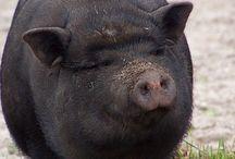 pigs / prasátka