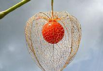 Physalis alkekengi - Chinese Lantern -