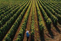 Dall'uva al vino - From vine to wine / La magia che trasforma l'uva in vino - The magic that turns grapes into wine