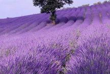 My lovely lavender