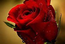 Róża ~ Rose / #róża #kwiat