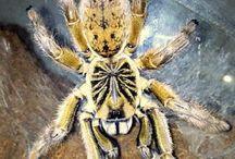 Tarantulas Africanas / African Spiders
