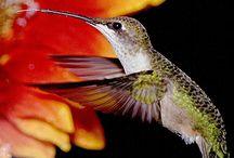 Animals: Birds - Hummingbirds