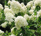 Hydrangeas / Growing and pruning