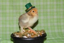 Happy St. Patricks Day from Northwoods Poultry / We are now hatching and shipping chicks