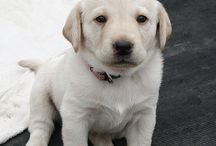 Labrador Retriever...love this breed!!! / I always in love with Labrador Retriever dogs...already have one, helpful, loveable and super cute!! / by Desideria Leksmono-Suwu