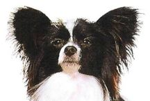 Pets / All things papillon!