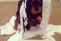 Naughty Dog / Walter the King Charles Cavalier