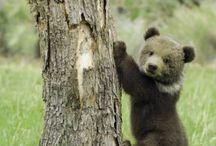 osos precioso
