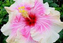 Kembang Lilie