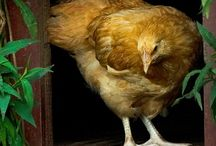 Chickens and insects