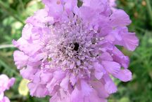Scabiosa Wedding Flowers and Pods / Wedding flower ideas using scabiosa flowers and pods in the designs for bridal bouquets, corsages, boutonnieres, centerpieces and more.