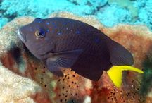 Damselfish / Damselfish Pictures - Damselfishes are small marine fishes found in tropical seas and some shallow water regions of the Indo-Pacific and Atlantic Oceans. There are thought to be around 230 different species of damselfish, including some clownfish, and belong with the family Pomacentridae.
