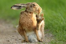 Sitting hare with foot in mouth