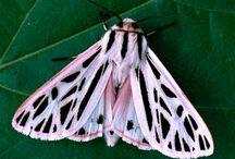 butterflyilike