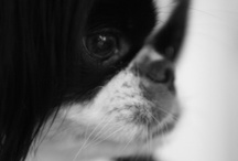 Animals, Japanese Chin in memory of Mitzi / In the memory our beloved Mitsubishi Snoopy Sheba Oborn, a wee dog with nothing but love to give. The perfect pet for a child to grow up with.