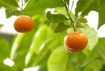 Citrusové