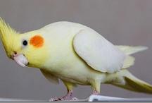 Cockatiel / by Doris Campbell
