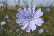 Chickory