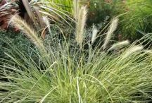 Australian Native Grasses & Strappy Leaved Plants / Australian Native Grasses & Strappy Leaved Plants