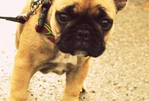 French Bulldog / My #2 favorite dog breed in my heart. same like pug but more expensive but someday i can have em