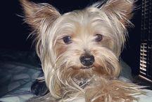 Milo the Yorkie / Our sweet lil' 4.6lb bundle of joy! :) / by Myra Ruperto