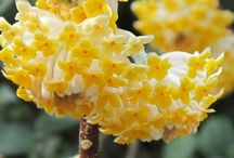 Flowering Shrubs / Shrubs