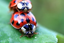 Łady ღ ɠentlemanbugs / Ladybugs (Coccinellids) are found worldwide, with over 5,000 species described, more than 450 native to North America alone. To tell gender, you must first identify WHICH ladybug you are dealing with. Some ladybugs have 7 spots, some 11, some 5, some none. Gender can not be determined by spots. Could get complicated! The ladybird was immortalised in the popular children's nursery rhyme Ladybird, Ladybird. / by Sandra Lee Larsen